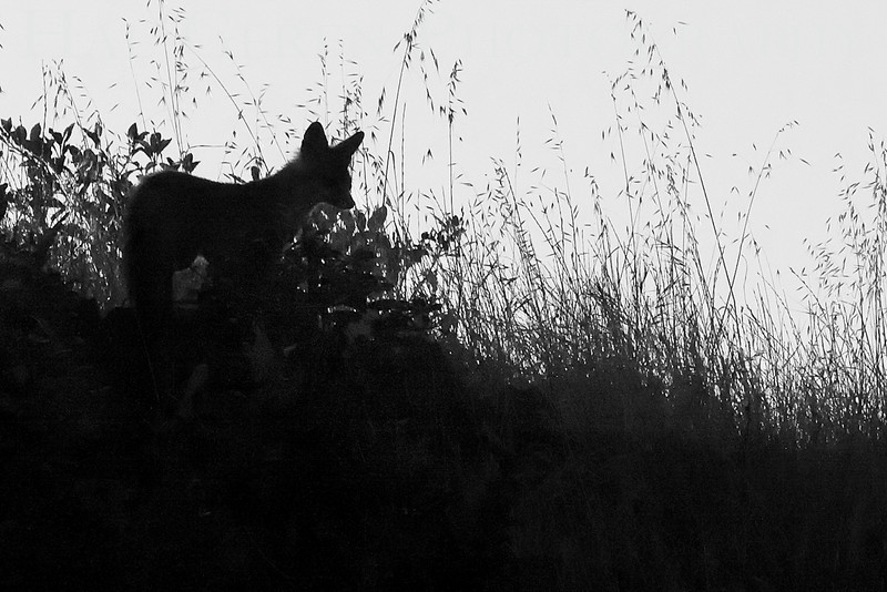 Gray Fox in the early Morning<br /> Don Edwards Natl Wildlife Refuge, Fremont, California<br /> 0908R-GF2