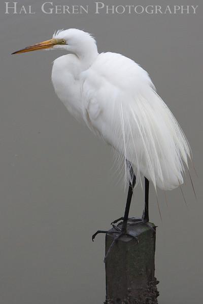Great Egret<br /> Don Edwards Natl Wildlife Refuge, Fremont, California<br /> 0906R-GE7