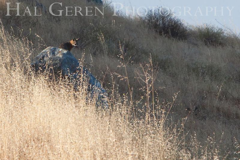 Gray Fox<br /> Don Edwards Natl Wildlife Refuge, Fremont, California<br /> 0907R-GFO1