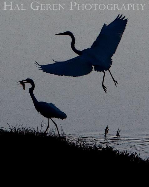 Great Egret Group<br /> Don Edwards Natl Wildlife Refuge, Fremont, California<br /> 0909R-GEG6E1