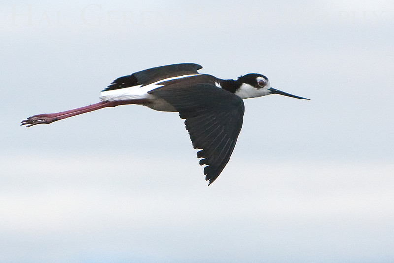 Black Neck Stilt <br /> Don Edwards Natl Wildlife Refuge, Fremont, California<br /> 0906R-BNSF1