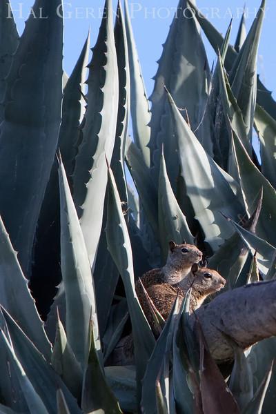 Squirrels in the Yucca<br /> Don Edwards Natl Wildlife Refuge, Fremont, California<br /> 0907R-SIY2