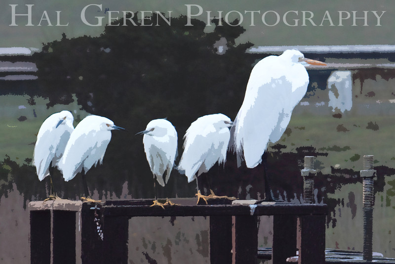 Snowy Egrets and a Great Egret<br /> Don Edwards Natl Wildlife Refuge, Fremont, California<br /> January, 2009<br /> 0901R-SGE4E2