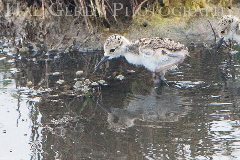 Black Neck Stilt Chick <br /> Don Edwards Natl Wildlife Refuge, Fremont, California<br /> 0906R-BNSC4