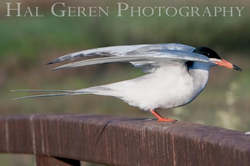 Common Tern (in USS Enterprise mode)<br /> Don Edwards Natl Wildlife Refuge, Fremont, California<br /> 0906R-CT3