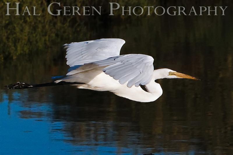 Great Egret<br /> Don Edwards Natl Wildlife Refuge, Fremont, California<br /> 0907R-GEF8