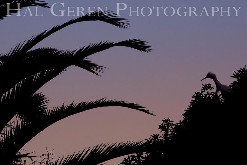 Snowy Egret Silhouette<br /> Don Edwards Natl Wildlife Refuge, Fremont, California<br /> 0904R-SEOP2
