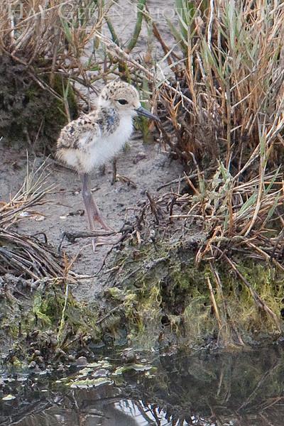 Black Necked Stilt Chick<br /> Don Edwards Natl Wildlife Refuge, Fremont, California<br /> 0906R-BNSC1