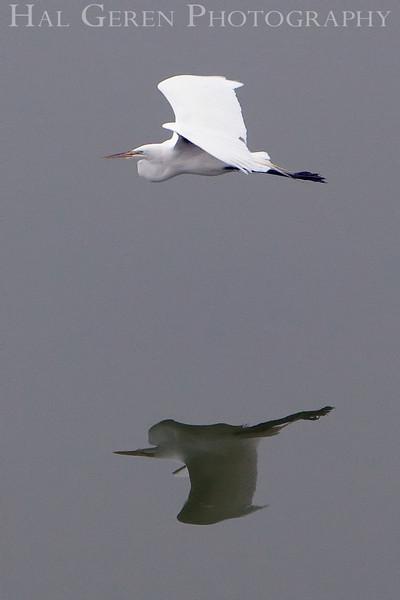 Great Egret Flight<br /> Don Edwards Natl Wildlife Refuge, Fremont, California<br /> May, 2009<br /> 0905R-GEF1