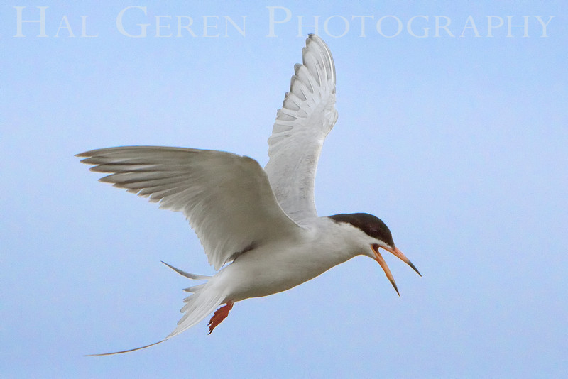 Common  Tern 1a<br /> Don Edwards Natl Wildlife Refuge, Fremont, California<br /> 0906R-CT1a