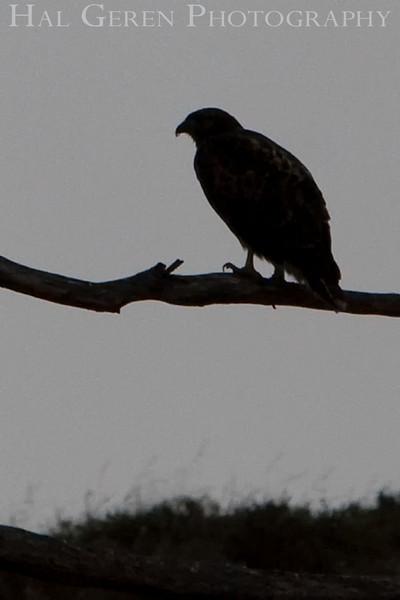 Hawk Silhouette<br /> Don Edwards Natl Wildlife Refuge, Fremont, California<br /> 0906R-HOBS1