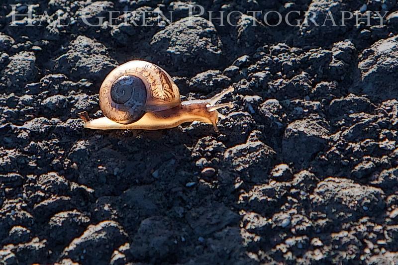 Backlit Snail<br /> Don Edwards Natl Wildlife Refuge, Fremont, California<br /> May, 2009<br /> 0905R-S2
