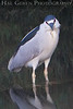 Black Crowned Night Heron<br /> Don Edwards Natl Wildlife Refuge, Fremont, California<br /> March, 2009<br /> 0904R-BCNH13