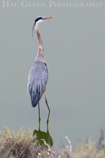 Blue Heron<br /> Don Edwards Natl Wildlife Refuge, Fremont, California<br /> May, 2009<br /> 0905R-BH2