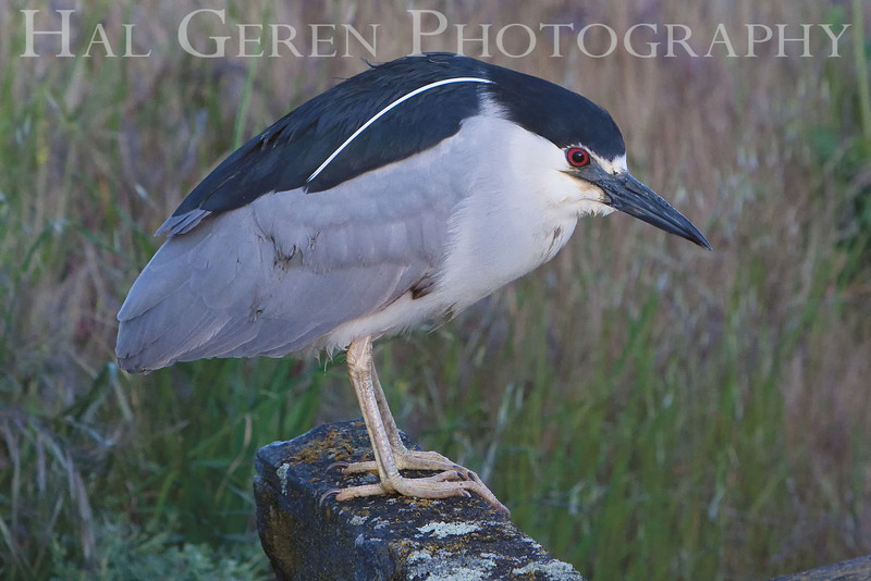 Black Crowned Night Heron <br /> Don Edwards Natl Wildlife Refuge, Fremont, California<br /> March, 2009<br /> 0904R-BCNH4