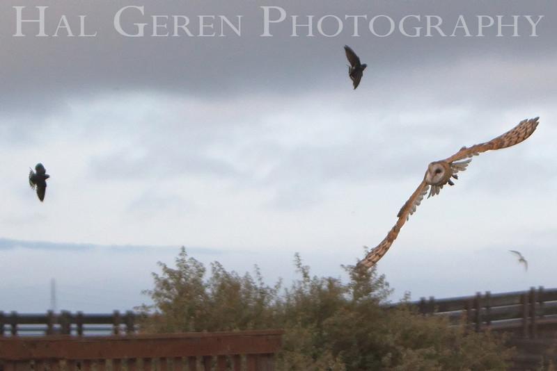 Barn Owl (Tyto alba)<br /> Don Edwards Natl Wildlife Refuge, Fremont, California<br /> 0906R-BO2