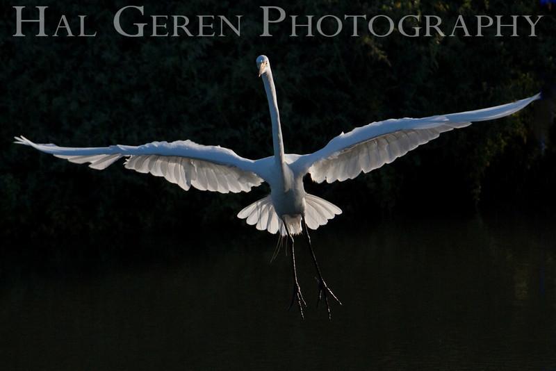 Great Egret<br /> Don Edwards Natl Wildlife Refuge, Fremont, California<br /> 0907R-GEF1