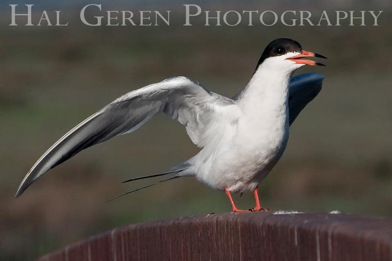 Common Tern 1<br /> Don Edwards Natl Wildlife Refuge, Fremont, California<br /> 0906R-CT1