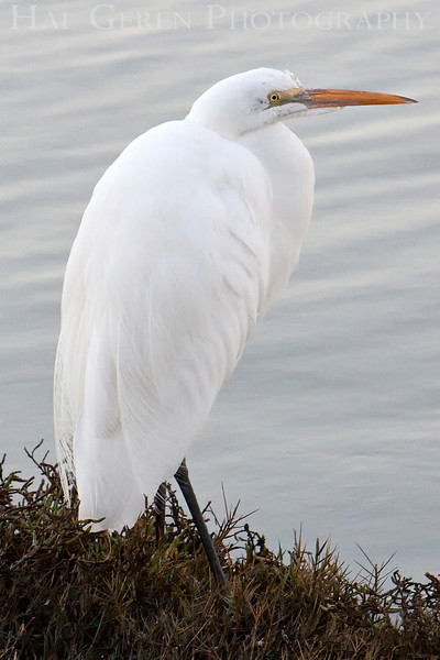 Great Egret<br /> Don Edwards Natl Wildlife Refuge, Fremont, California<br /> March, 2009<br /> 0901R-GE4