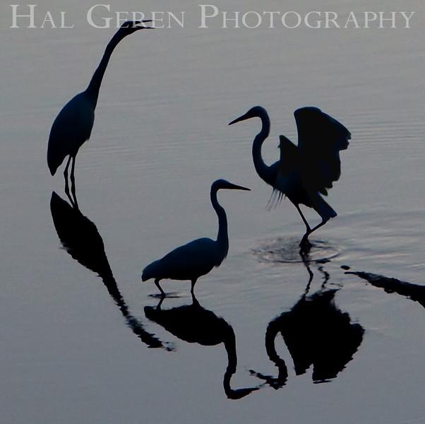 Great Egret Group<br /> Don Edwards Natl Wildlife Refuge, Fremont, California<br /> 0909R-GEG2A