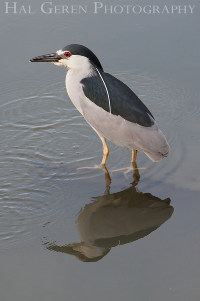 Black Crowned Night Heron <br /> Don Edwards Natl Wildlife Refuge, Fremont, California<br /> March, 2009<br /> 0903R-BCNH9