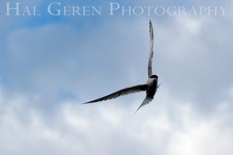 Least Tern<br /> Don Edwards Natl Wildlife Refuge, Fremont, California<br /> 0907R-LTF1
