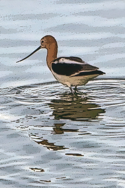 Avocet<br /> Don Edwards Natl Wildlife Refuge, Fremont, California<br /> May, 2009<br /> 0905R-A2