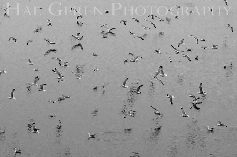 Seagull Flight<br /> Don Edwards Natl Wildlife Refuge, Fremont, California<br /> May, 2009<br /> 0905R-G3
