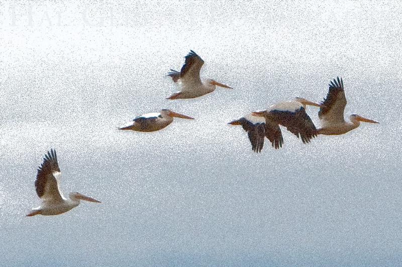 Pelican Flight<br /> Don Edwards Natl Wildlife Refuge, Fremont, California<br /> 0906R-PF1