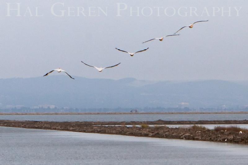 Pelican Flight<br /> Don Edwards Natl Wildlife Refuge, Fremont, California<br /> May, 2009<br /> 0905R-PF3