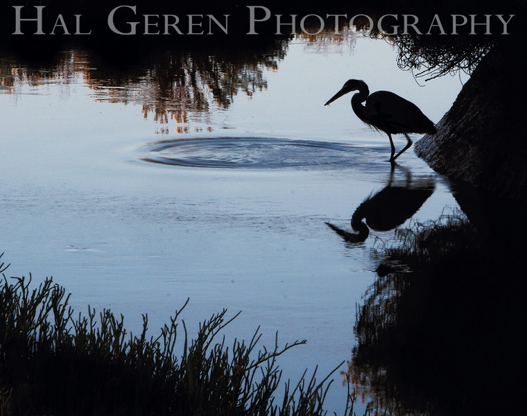 Blue Heron Silhouette<br /> Don Edwards Natl Wildlife Refuge, Fremont, California<br /> 0909R-BHIC