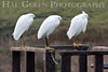 Snowy Egret Punks<br /> Don Edwards Natl Wildlife Refuge, Fremont, California<br /> January, 2009<br /> 0901R-SP2E2