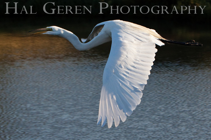 Great Egret<br /> Don Edwards Natl Wildlife Refuge, Fremont, California<br /> 0907R-GEF6