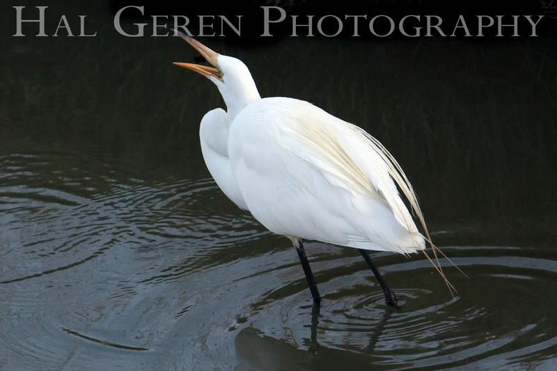Great Egret<br /> Don Edwards Natl Wildlife Refuge, Fremont, California<br /> 0907R-GE14