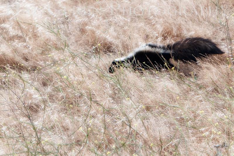 Skunk in the Grass<br /> Don Edwards Natl Wildlife Refuge, Fremont, California<br /> 0906R-SIG2