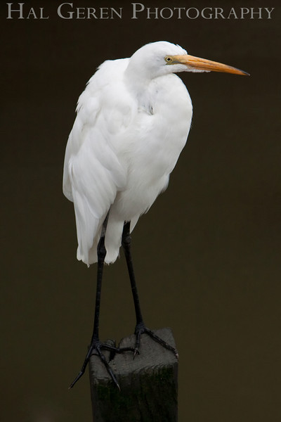 Great Egret<br /> Don Edwards Natl Wildlife Refuge, Fremont, California<br /> 0908R-GE4