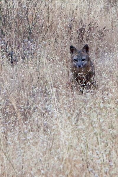 Gray Fox Kit<br /> Don Edwards Natl Wildlife Refuge, Fremont, California<br /> 0906R-GFK1