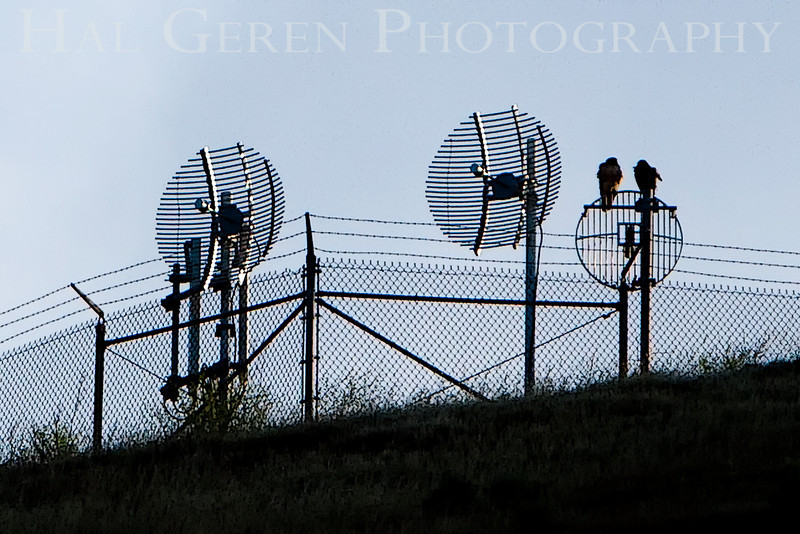 Hawks on Antennae<br /> Don Edwards Natl Wildlife Refuge, Fremont, California<br /> 0906R-HOA1E1
