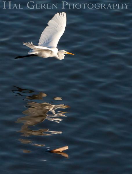 Great Egret Flight<br /> Don Edwards National Wildlife Refuge, Newark, CA<br /> 0911R-PF2