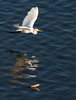 Great Egret Flight<br /> Don Edwards National Wildlife Refuge, Newark, CA<br /> 0911R-PF2