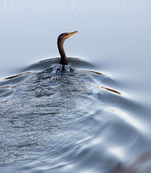 Cormorant<br /> Don Edwards National Wildlife Refuge.  Fremont, CA<br /> 1008R-C1