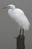 Great Egret<br /> Don Edwards National Wildlife Refuge, Newark, CA<br /> 0907R-GE7