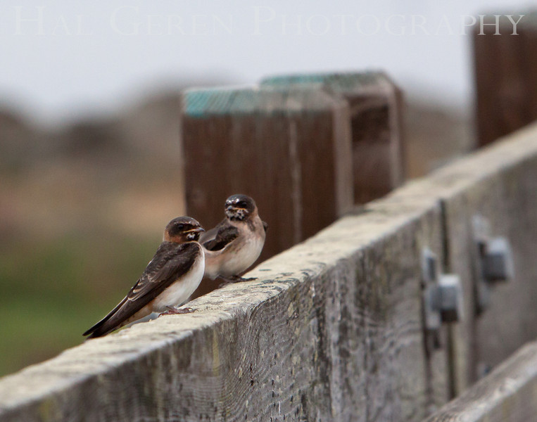 Gossiping swallows<br /> Don Edwards National Wildlife Refuge, Fremont, CA<br /> 1007R-S3