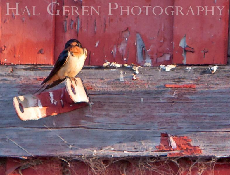 Swallow<br /> Don Edwards National Wildlife Refuge, Fremont, CA<br /> 1007R-S5B