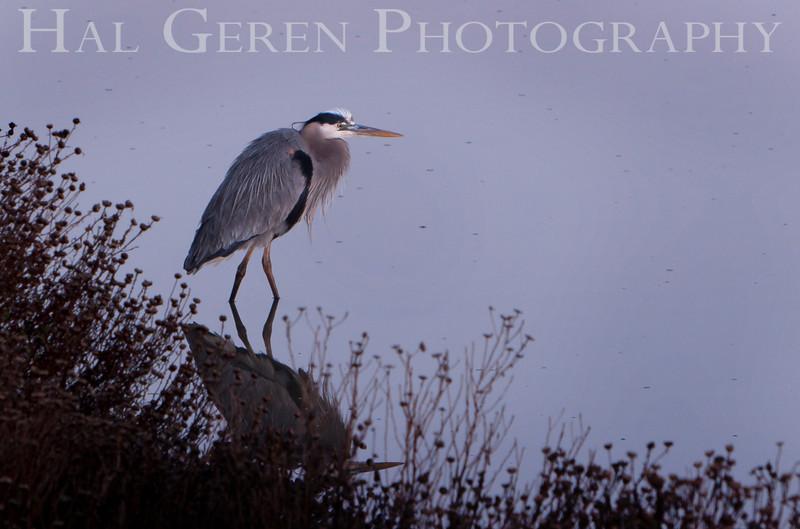 Blue Heron<br /> Don Edwards National Wildlife Refuge, Fremont, CA<br /> 1001R-BH1