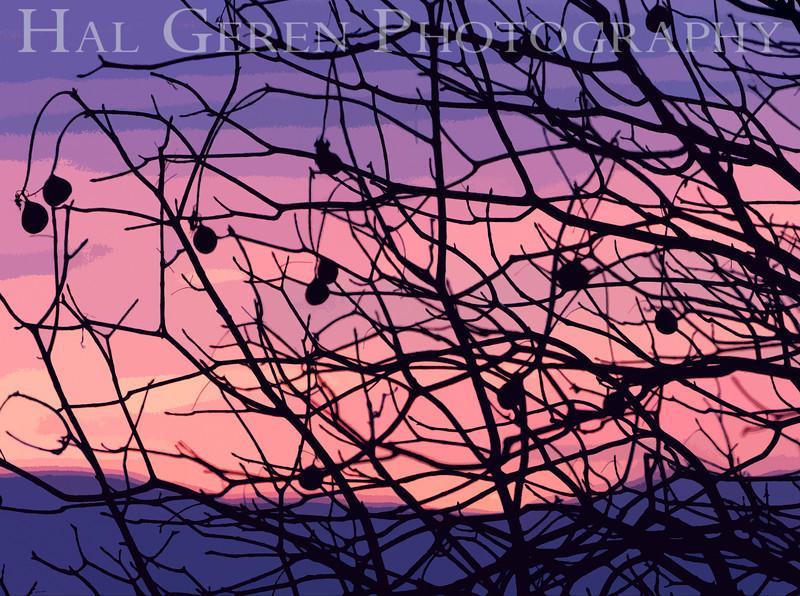 Buckeye tree in winter<br /> Don Edwards National Wildlife Refuge, Newark, CA<br /> 0911R-B1E1