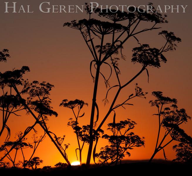 Sunrise through the Fennel<br /> Don Edwards National Wildlife Refuge.  Fremont, CA<br /> 1008R-STF1A