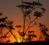 Sunrise through the Fennel<br /> Don Edwards National Wildlife Refuge.  Fremont, CA<br /> 1008R-STF1A