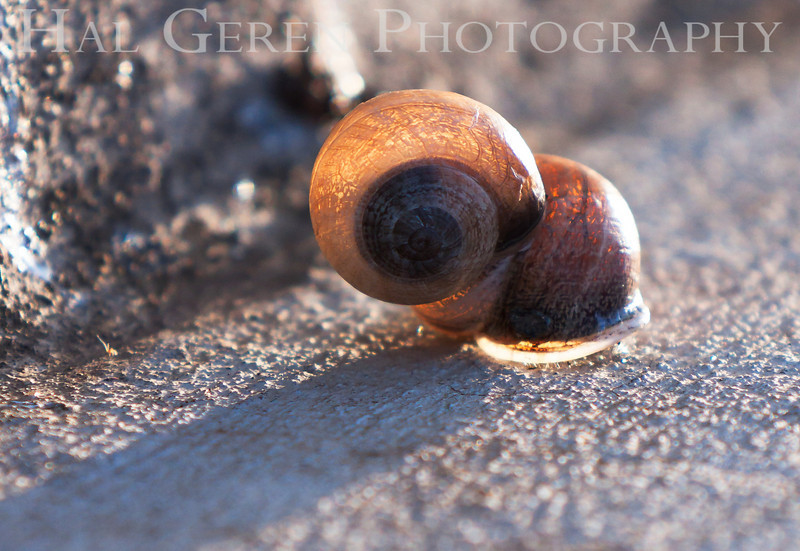 Snail Love w Backlight<br /> Don Edwards National Wildlife Refuge, Fremont, CA<br /> 1004R-SB2