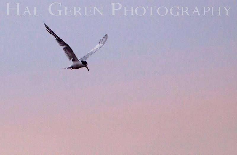 Least Tern in flight<br /> Don Edwards National Wildlife Refuge.  Fremont, CA<br /> 1008R-LT1E1